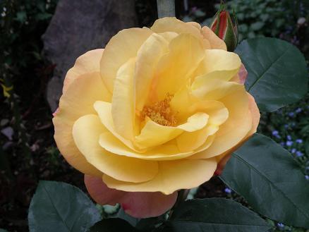 rose675.jpg