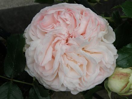 rose676.jpg