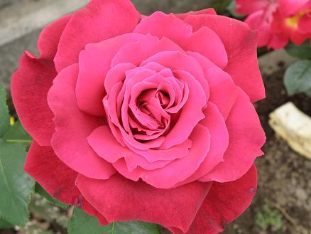 rose677.jpg