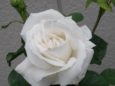 rose678.jpg
