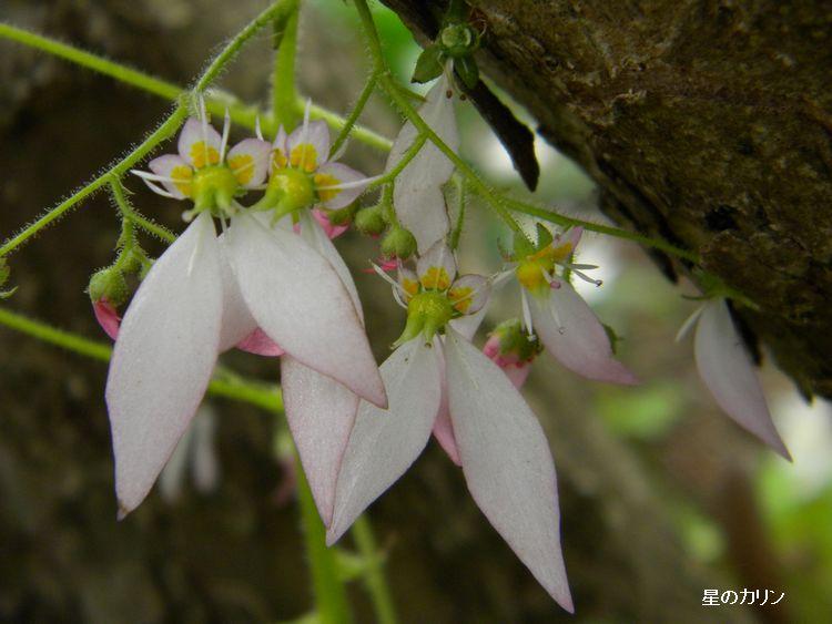春ユキノシタ2