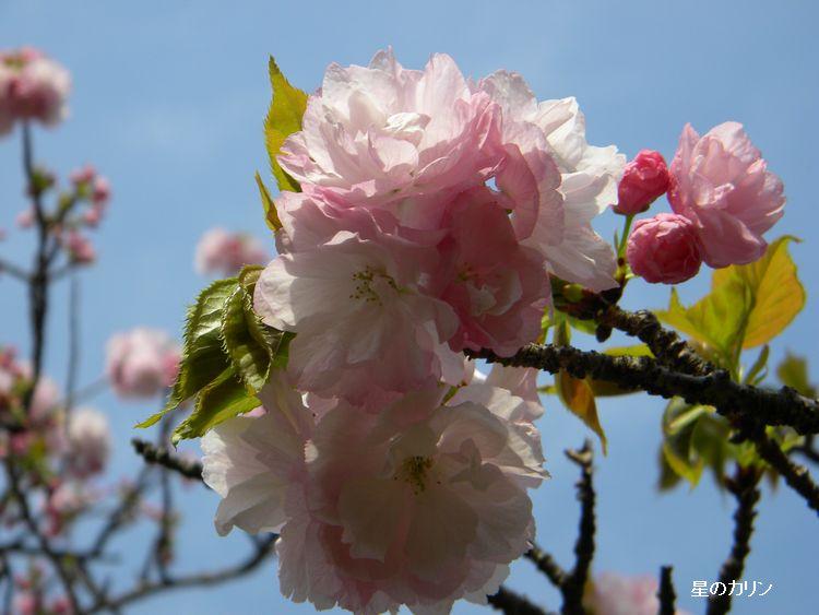紅八重桜3