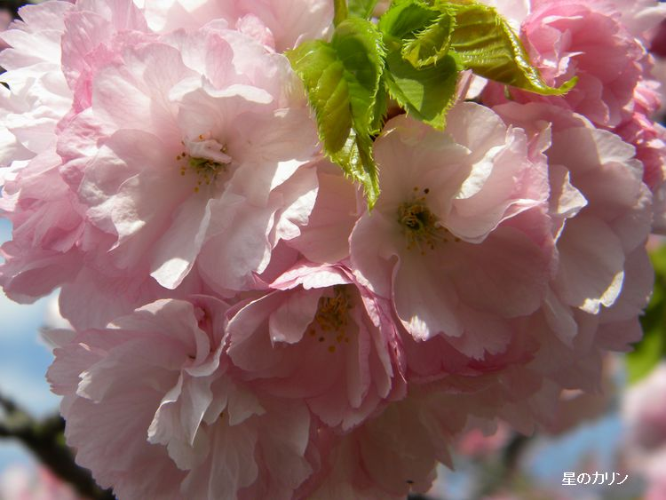 紅八重桜2