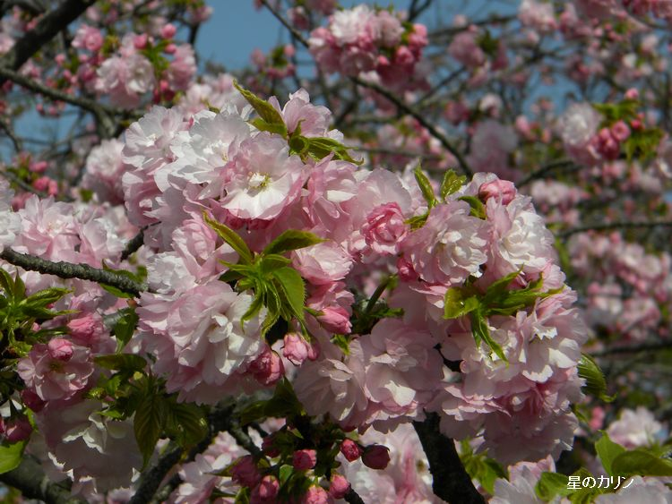 紅八重桜1