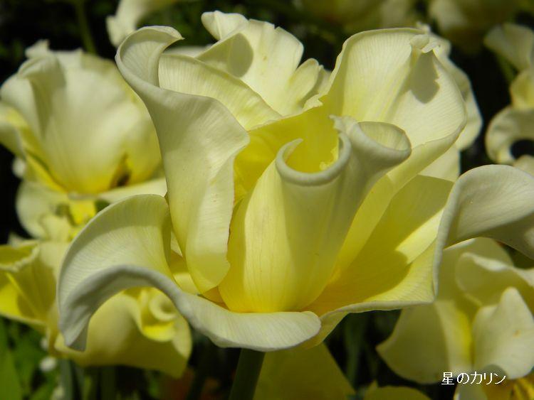変わり咲きチューリップ1