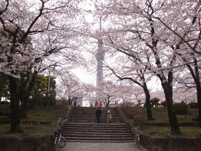 桜満開の隅田公園からスカイツリーを