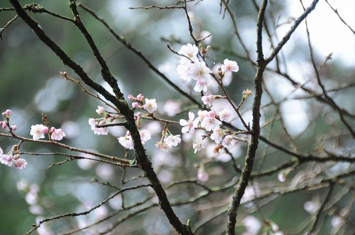 9959桜が咲いてたよ