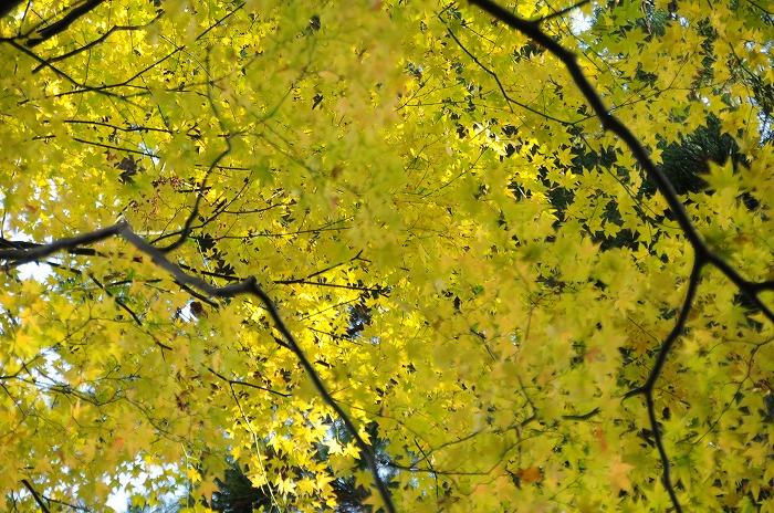 1914黄葉もきれい