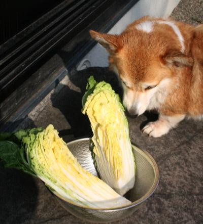 ハニーと白菜