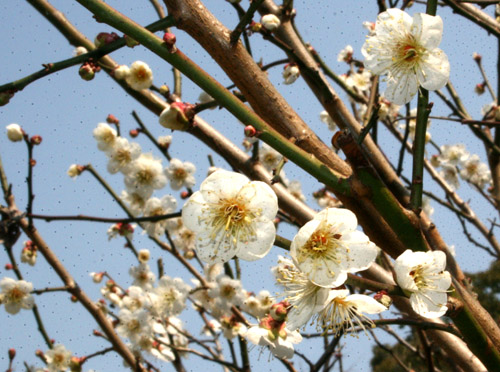 2012:03:15梅の花