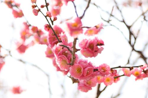 2012-0315梅の花