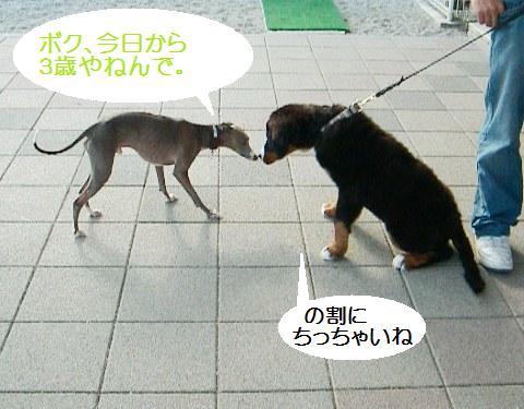 バーニーズのパピーちゃん(でかい!)