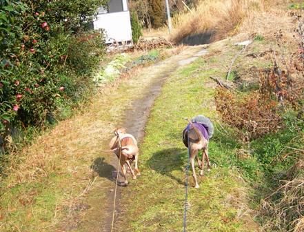パピー走りのディオと、早歩きのトト
