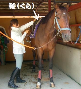 ⑥鞍を腹帯で固定後、鐙(あぶみ)の長さを調節