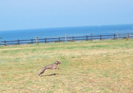 海をバックに、サイトらしく走るトト