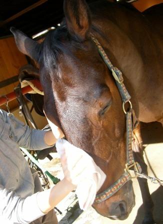 ⑤(丸洗いしない場合)馬の顔や背中を濡れタオルで拭く