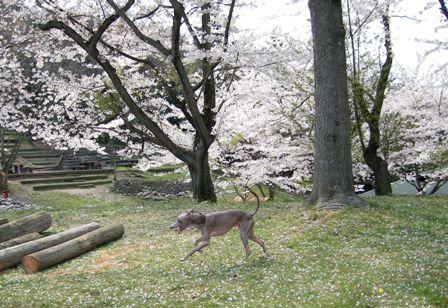 桜が咲いてようがお構いなし