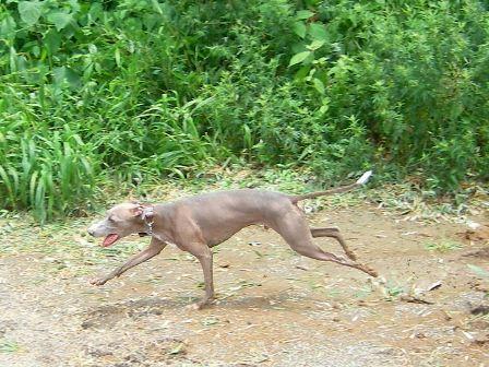 走るとき、大抵口が開いてるトト