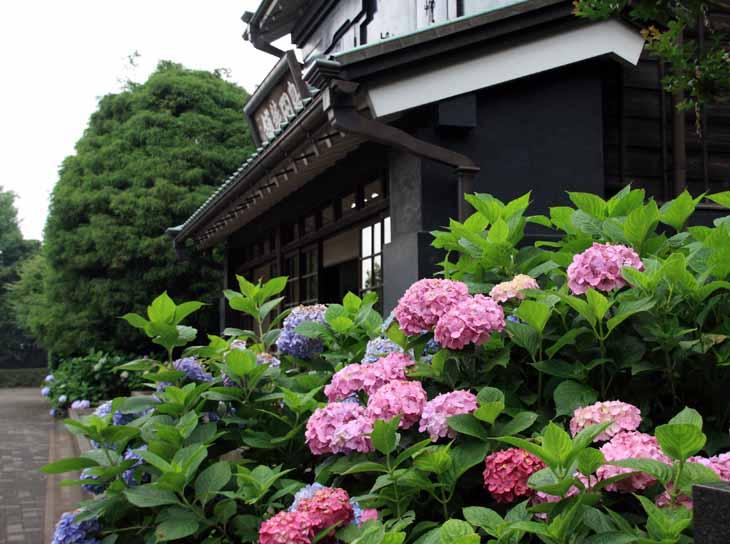 11ajisaiKM_03.jpg