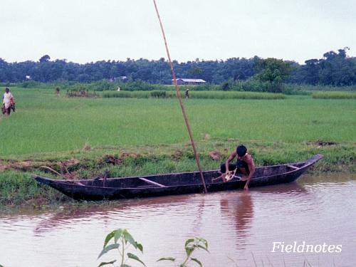 インドのアッサム地方の水田