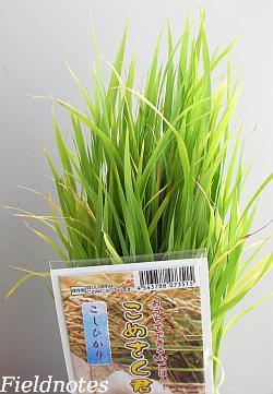 バケツ稲用の苗(こしひかり)