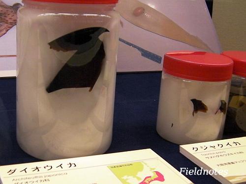 ダイオウイカのカラストンビ[大阪市立自然史博物館「お披露目!博物館に届いた新しい標本」]