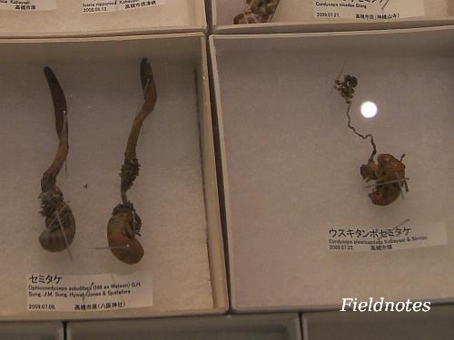 セミに寄生する冬虫夏草の標本[大阪市立自然史博物館「お披露目!博物館に届いた新しい標本」]