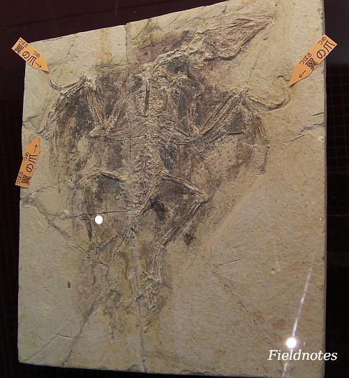 中国の孔子鳥の化石[大阪市立自然史博物館「お披露目!博物館に届いた新しい標本」]