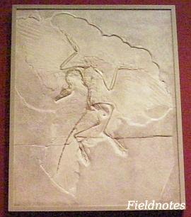 ドイツの始祖鳥化石のレプリカ[大阪市立自然史博物館 常設展示室]