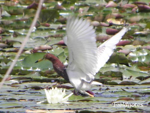 長居植物園の大池で羽を広げるアカガシラサギ