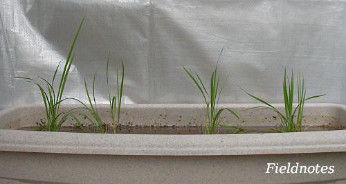プランターに植えられて1週間のバケツ稲(プランター稲)