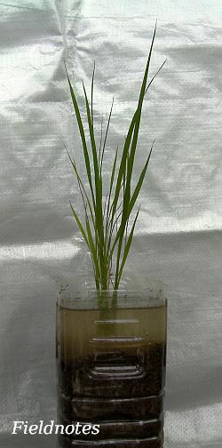 異変が起きたペットボトル稲
