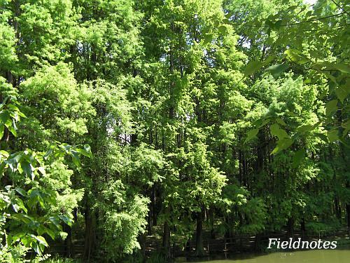 夏のメタセコイアの森[長居植物園]