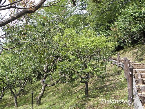 6月下旬の花の文化園の梅林
