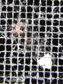 網の向こうにいるゲンジボタル[橿原市昆虫館]