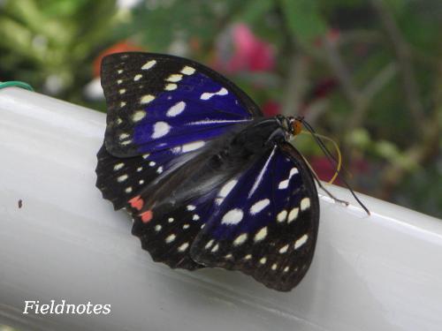 翅が紫色のオスのオオムラサキ