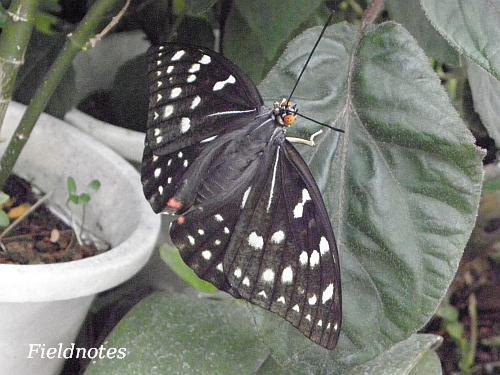 翅に紫色が無いメスのオオムラサキ