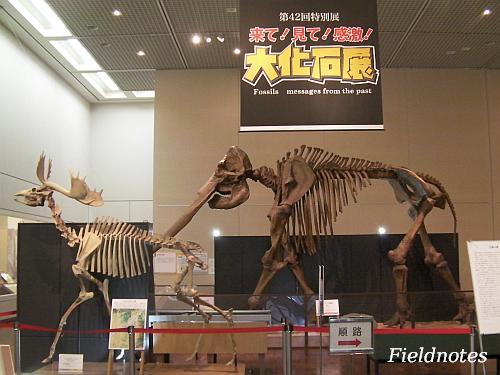 大化石展入り口で迎えてくれるヤベオオツノジカとコウガゾウ