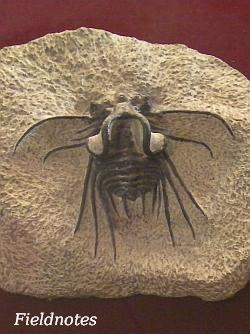デボン紀の三葉虫ディクラヌルス