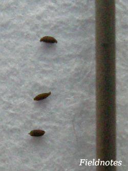 トウカイコモウセンゴケの種と0.5mmのシャープペンシルの芯