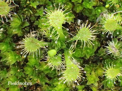 生きたコケの中から葉を伸ばす冬を越した実生トウカイコモウセンゴケ