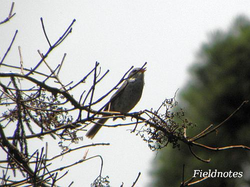 枯れ木のてっぺんで鳴いている金剛山のウグイス