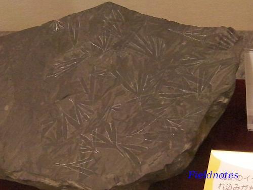 中生代のはじめ三畳紀の被子植物のギンゴイテス[大化石展]<
