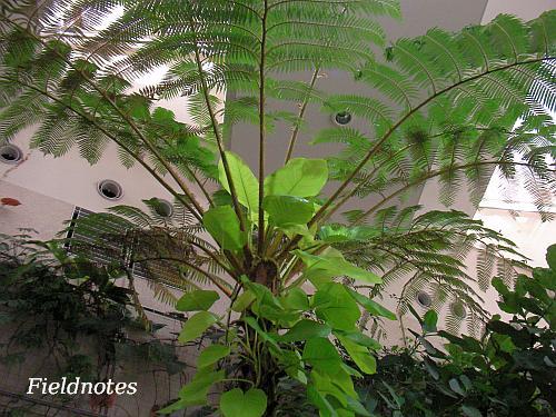 現在の沖縄に自生しているシダのヒカゲヘゴ[花と緑と自然の情報センター(長居植物園)]