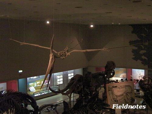 もしかしたらケツァルコアトルスよりも大きいかもしれない翼竜プテラノドン[大阪市立自然史博物館]