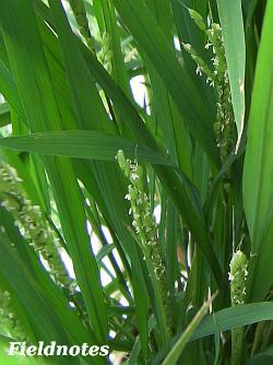 花盛りのバケツ稲