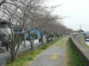 桜並木_01