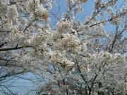 桜並木_01_3