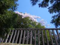 倭姫御陵の桜