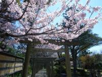 氏神様の桜
